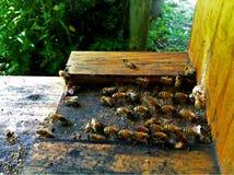 Bin på ingången till en bikupa fotografering för bildbyråer