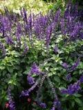 Bin på lavendelblommor royaltyfria bilder