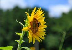 Bin på solrosen från sida royaltyfri fotografi