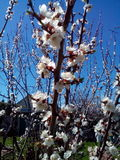 Bin pollinerar blomningaprikons Royaltyfria Bilder