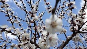 Bin pollinerar det blommande aprikosträdet arkivfilmer