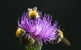 Bin pollinerar en blomma, méhecskékbeporozzá K som en virá fick arkivbild
