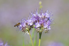Bin pollinerar phaceliablommor Arkivbilder