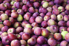 Bin of Red Apples After Fall Harvest Royalty Free Stock Image