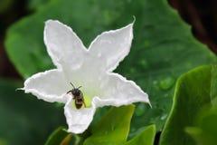 Bin sätta sig på kronbladen av en blomma Royaltyfria Bilder