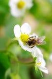 bin samlar blommanectar royaltyfria foton