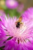 bin samlar blommanectarpurple fotografering för bildbyråer