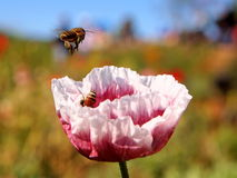 Bin som arbetar med den färgglade blomman Fotografering för Bildbyråer