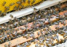 Bin som arbetar på träramar av ett bi, gå in i kupan för att producera honung fotografering för bildbyråer