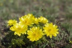 Bin som cirklar på blommor arkivfoto