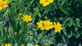Bin som flyger över fältet av gula blommor och mot efterkrav blommadamm, slut upp Sidor för gräsplan för gulingblommawitn mot stock video