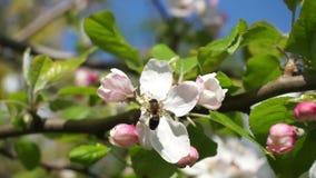 Bin som flyger samla pollen från blomningen för blommaäppleträd på 60 ramar stock video