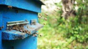 Bin som in och ut flyger nära övre sikt för bikupa arkivfilmer