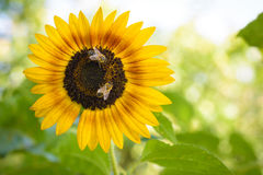Bin som pollinerar en solros Royaltyfri Foto