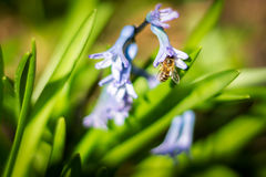 Bin som pollinerar hyacinten arkivfoto