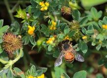 Bin som söker efter nektar Arkivfoto