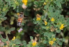 Bin som söker efter nektar Arkivfoton