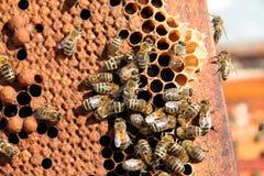 Bin som samla i en klunga på honungskakaram Royaltyfria Bilder
