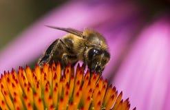 Bin som samlar honung med den orange blomman Arkivfoto