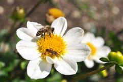Bin som samlar pollen Arkivbilder