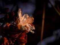 Bin som samlar pollen från blommor av Paineira, gör Cerrado arkivfoton