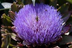 Bin som samlar pollen från en arthichokeblomning Royaltyfri Bild