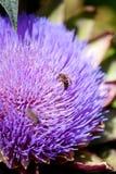 Bin som samlar pollen på en kronärtskockablomning arkivbild