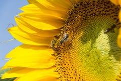 Bin som slåss för pollen Royaltyfria Bilder