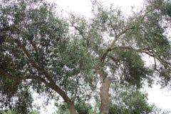 Binchspitzen des Baums mit dem grauen Himmel hinten stockfotos