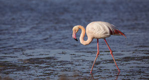 Blind Flamingo Royalty Free Stock Image