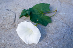 Bind Weed Flower. Bind weed with flower and leaf stock photo