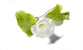 Bind weed on white Royalty Free Stock Image