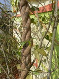Bindande växt Royaltyfria Bilder