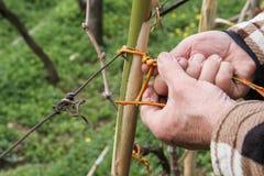 Binden eines Stocks in einem Weinberg lizenzfreie stockfotos