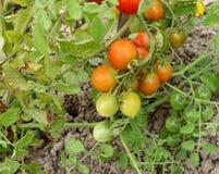 Binder von reifenden Tomaten lizenzfreie stockbilder