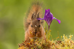 Bindi, hindi. Young red squirrel standing with flower Royalty Free Stock Photo