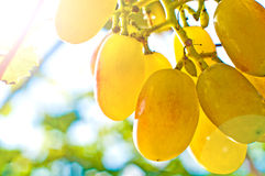 Binding of vine in the sunshine Royalty Free Stock Photo