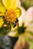 Bindung der Dahlie und der Bienen stockfotografie