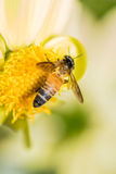 Bindung der Dahlie und der Bienen stockfoto