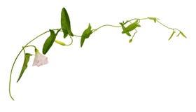 Bindweed κλαδίσκος με τα πράσινα φύλλα και το ρόδινο λουλούδι Στοκ Εικόνες