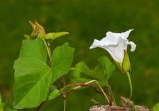 Bindweed, λουλούδι, οφθαλμός και φύλλα φρακτών Στοκ Φωτογραφίες