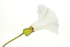 bindweed λουλούδι Στοκ Φωτογραφία