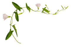 Bindweed λουλούδι και φύλλα Στοκ φωτογραφία με δικαίωμα ελεύθερης χρήσης