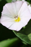 Bindweed λουλούδι Στοκ εικόνα με δικαίωμα ελεύθερης χρήσης