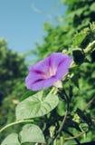 Bindweed δόξας πρωινού με μεγάλο, ουρανός-μπλε στενό επάνω λουλουδιών Στοκ εικόνα με δικαίωμα ελεύθερης χρήσης