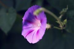 Bindweed δόξας πρωινού με μεγάλο, ουρανός-μπλε στενό επάνω λουλουδιών Στοκ Εικόνες