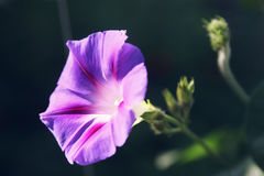 Bindweed δόξας πρωινού με το μεγάλο, ουρανός-μπλε λουλούδι Στοκ εικόνα με δικαίωμα ελεύθερης χρήσης