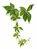 Bindweed. Twig of a climbing plant Stock Image
