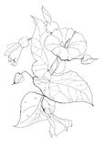 Bindweed. Flower drawing on white background Stock Photo