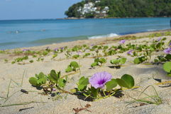Bindweed on the andaman  sea coast Stock Photography
